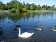 swans on pond
